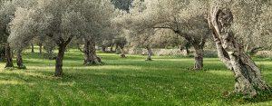olivno olje nasad na Mallorci