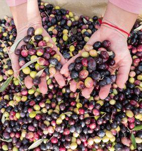 osnova za olivno olje so zdrave olive